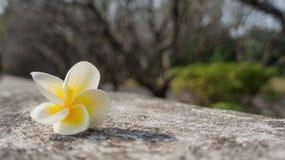 在寺庙墙壁上的白色赤素馨花 免版税库存图片