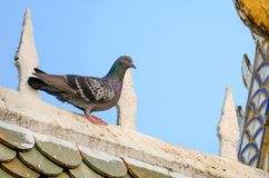 在寺庙屋顶的一只鸽子 库存图片