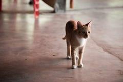 在寺庙泰国的单独猫 免版税库存照片
