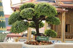 在寺庙的树 库存图片