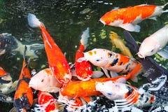 在寺庙的花梢鲤鱼 库存图片