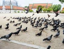 在寺庙的鸽子 图库摄影