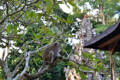 在寺庙的猴子 免版税库存照片