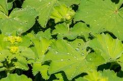 在寻常夫人壁炉台的炼金的绿色叶子的雨下落 免版税库存照片