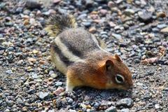 在寻找食物的五颜六色的岩石的一只地松鼠 免版税库存照片