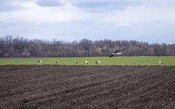 在寻找食物的领域的鹳 鹳通过一个被犁的领域走 免版税图库摄影