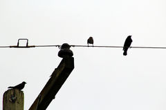 在导线和杆的鸟 库存图片