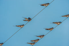 在导线栖息的燕子 库存照片