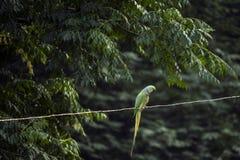 在导线的一只鹦鹉 库存图片