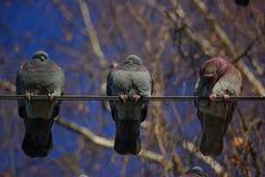 在导线的三只鸽子 免版税库存图片