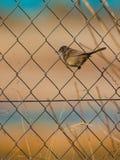 在导线的母撒丁岛鸣鸟 库存图片