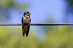 在导线的燕子鸟 免版税库存图片