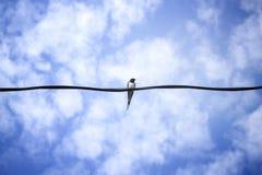 在导线的燕子 库存图片