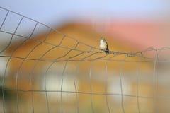 在导线的蜂鸟 免版税库存图片