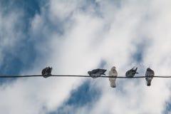在导线的鸽子反对蓝天 免版税库存图片
