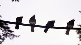 在导线的鸽子 以白色天空为背景的鸽子 鸽子逐渐飞行远离导线 股票视频