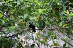在导线的黑乌鸦栖息处与绿色离开背景 库存照片