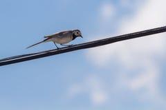 在导线的令科之鸟反对天空 免版税库存图片