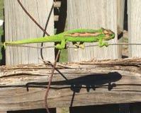 在导线的绿色变色蜥蜴 库存图片