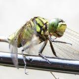 在导线的蜻蜓 库存图片