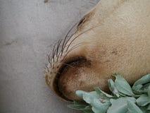 在封印海湾海滩的海狮  库存照片