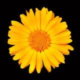 在射击向日葵的背景黑色宏指令 免版税图库摄影