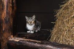 在射线的一只猫看得直接 免版税库存图片