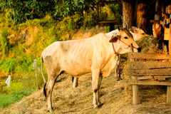 在小农场的母牛在乡下 免版税库存图片