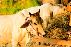 在小农场的母牛在乡下 库存图片