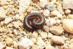 在小卵石中的非洲千足虫 免版税库存照片