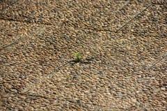 在小卵石地板上的一朵绿色花 库存照片
