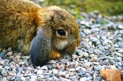 在小卵石的荷兰Lop兔子 免版税图库摄影