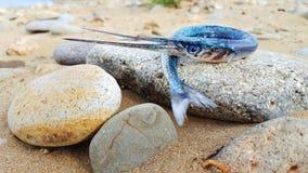 在小卵石的长嘴硬鳞鱼 免版税图库摄影