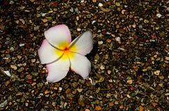 在小卵石道路的赤素馨花花 库存照片