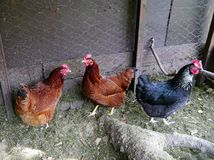 在小后院突然行动的鸡 免版税库存图片