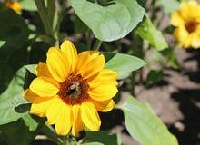 在小向日葵的蜂 免版税库存照片