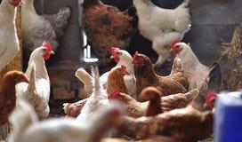 在小屋的鸡 免版税库存照片