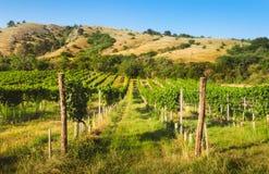 在小山下的葡萄园 免版税库存照片