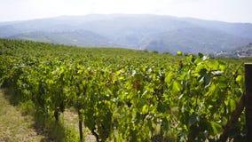 在小山之间的巨大的葡萄园 股票录像