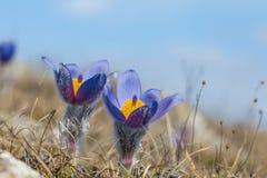 在小山倾斜的紫罗兰色春天花 库存图片