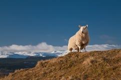 在小山国王海湾tay苏格兰的绵羊之上 库存图片