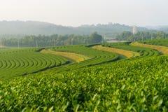 在小山在一个早晨,清莱,泰国的绿茶曲线 库存图片