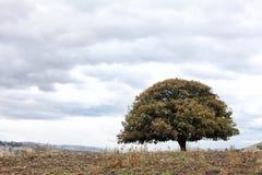 在小山塔斯马尼亚岛的孤立树 免版税库存图片