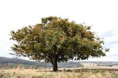 在小山塔斯马尼亚岛的孤立树 免版税库存照片
