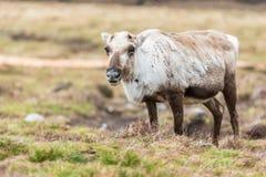 在小山放松的驯鹿 免版税库存照片