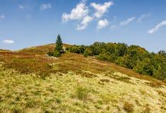 在小山的一个象草的草甸的云杉的树 库存照片