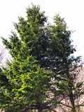 在小山的一棵伟大的绿色杉树 免版税库存图片