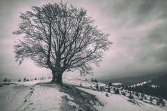 在小山的一棵偏僻的多枝树 33c 1月横向俄国温度ural冬天 库存图片