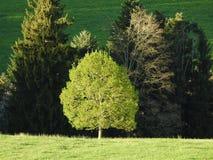 在小山的一棵嫩绿色树 库存图片