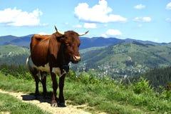 在小山的一头母牛 免版税库存图片